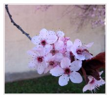 Pink blossoms by Elorine