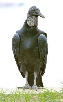 Black Vulture by tamebabyparrots