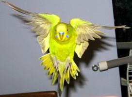 Budgie in flight by greencheek