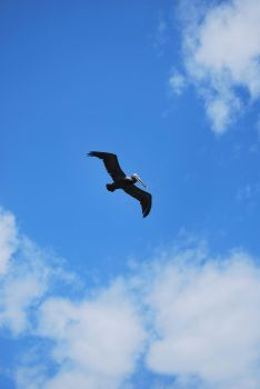 brown pelican 6.7 by meihua-stock