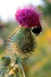Thistle and Bee by EWeirmeir