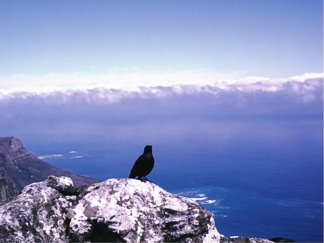 Bird on Table Mountain by emmaclairemercedes
