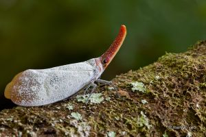 Pyrops sultana by melvynyeo