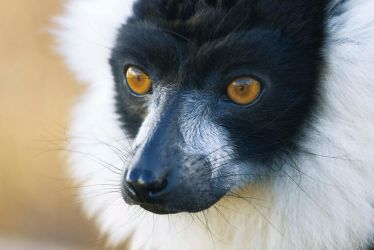 Ruffed Lemur by JSWoodhams