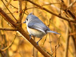 Tufted Titmouse maybe by davincipoppalag