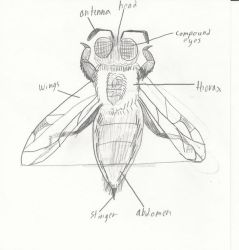 Bumble Bee anatomy by MythicalRaptor3