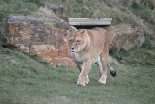 African Lion by Pridalic11