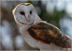 Barn owl by KlaraDrielle