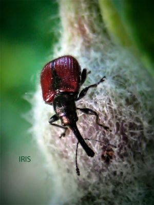 Apple Fruit Weevil by Iris-cup