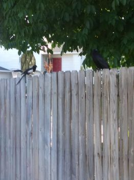 Fence Birds #4 by CherokeeGal1975