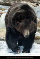 Grizzly Bear 4 by SalsolaStock