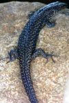 Dark Grey Lizard Up Close by Gracies-Stock
