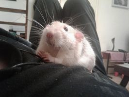 Snoopy Rat eating a crouton on my chest. by Eternatease