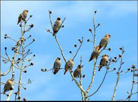 A Flock Of Cedar Waxwings by JocelyneR