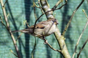 5669 Sparrow in the branches by RealMantis