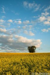 yellow colza under blue sky by Springstein