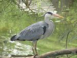 Grey heron by Sia-the-Mawile