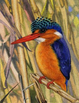 Malachite Kingfisher by WillemSvdMerwe