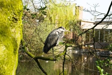 Heron by PeterZen