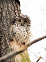 Ural Owl by MetalMouseArt