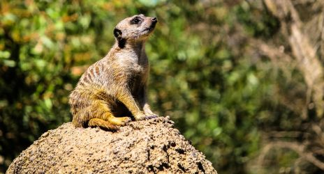 The Meerkat King by loveorcaz