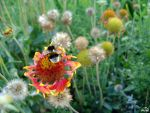 very busy bumblebee.. by grezelle