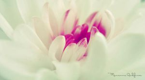 Chrysanthemum by Marianna9