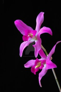 Pink Orchid by oliverporter3