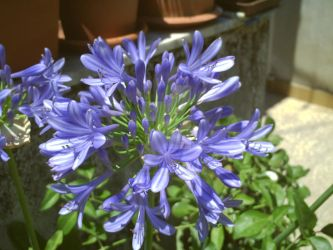 Agapanthus Blue by KainTheSupreme
