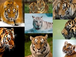 Tiger wallpaper for Lozz by frostyvamp