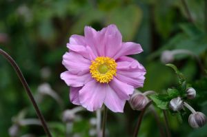 JAPANESE ANEMONE by major-holdups