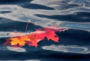 maple leaves under water by KariLiimatainen