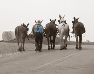 Amish farm horses by CultureQuest
