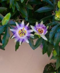 Flower: passiflora by PaolaCamberti