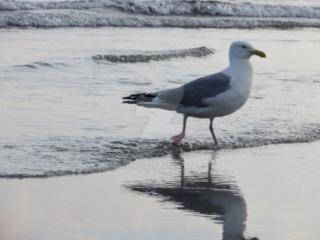 Seagull Standing in the Water by Charlief43