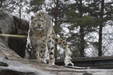 Snow Leopard 28 by CastleGraphics