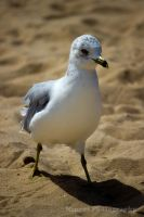 Seagull 4 by justarus