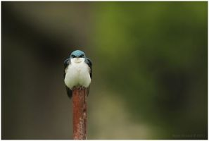 Tree Swallow by Ryser915