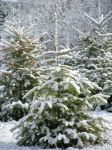 Snow on the trees by Cyberpriest