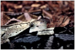 Horned Viper by ciseaux