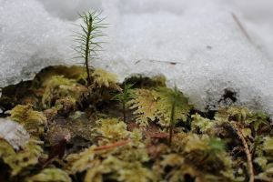 snow forest stock moss leaves close up by UnseenIvy