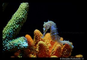Seahorse II by TVD-Photography