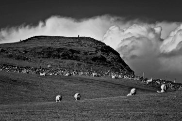 Sheeps on the field by roxiannie