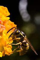 Thirsty Wasp by ChristophMaier