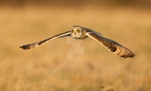 Zooming towards you - Short-eared Owl by Jamie-MacArthur