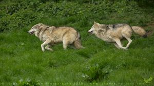 Canis lupus by linneaphoto