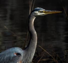 Blue Heron 012 by Elluka-brendmer