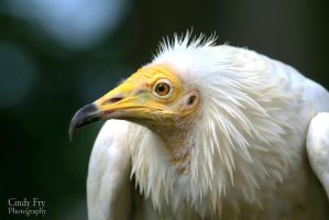 Egyptian Vulture by lost-nomad07