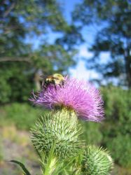 Thistle Bumble Bee by DarkroomWars