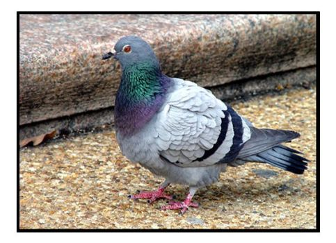 Pigeon by shutterbabe2006